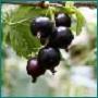 Полезные свойства черной смородины и противопоказания